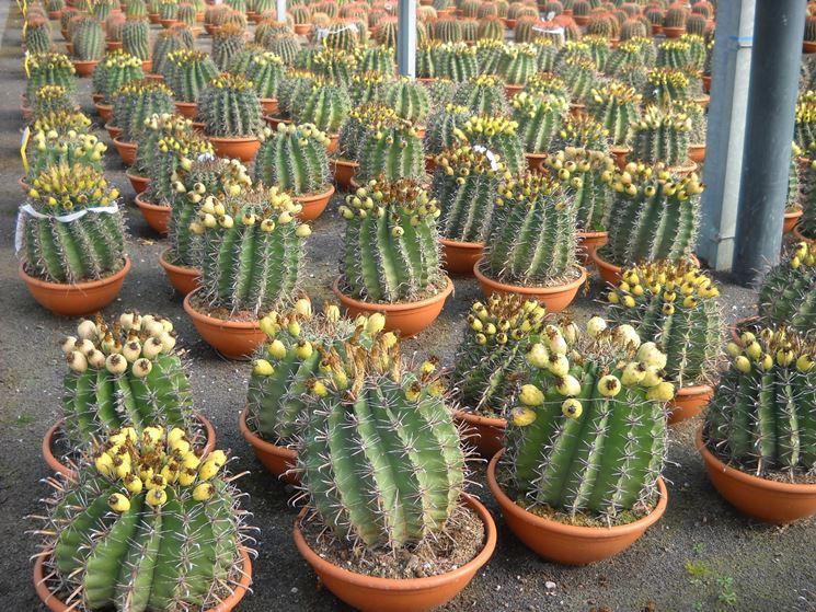 Esempio di piante grasse succulente
