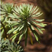 Esempio di pianta di Euphorbia