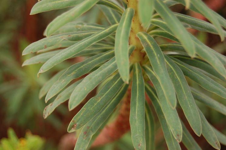 Esemplare adulto di Euphorbia