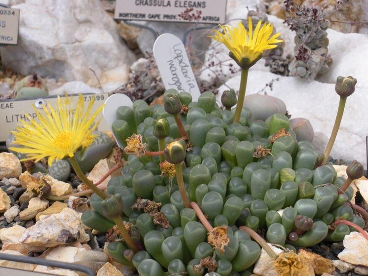 La Fenestraria in fiore