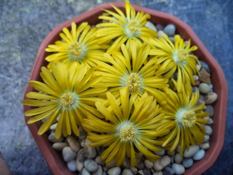 Tipica fioritura delle Lithops