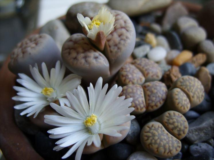 Fiore pietre vive