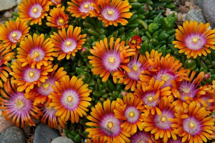 Piante grasse fiori