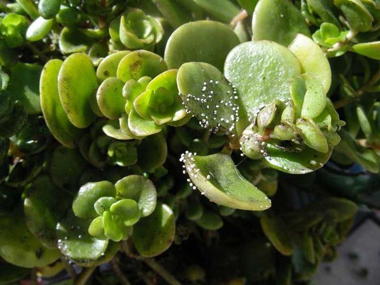 Esemplare pianta grassa colpita parassiti