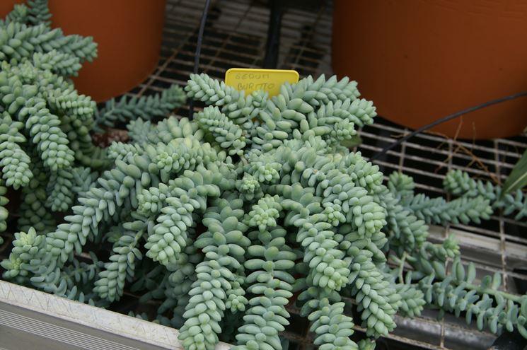 Piante grasse pendenti piante grasse piante grasse for Tutte le piante grasse