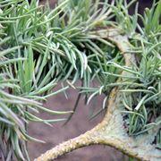 pianta grassa rampicante