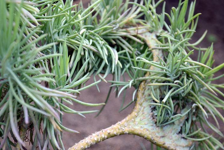 Piante grasse rampicanti piante grasse coltivare - Piante grasse da esterno pendenti ...