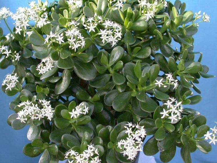 Crassula ovata fiorita