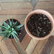 Rinvaso di pianta grassa