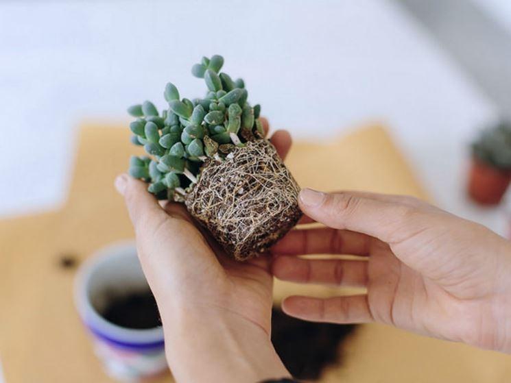 Succulenta che ha bisogno di rinvaso