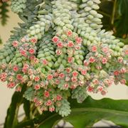 Infiorescenze della pianta di Sedum
