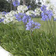 Agapanthus con fiori nei tipici colori