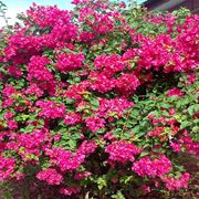 Bouganvillea color magenta
