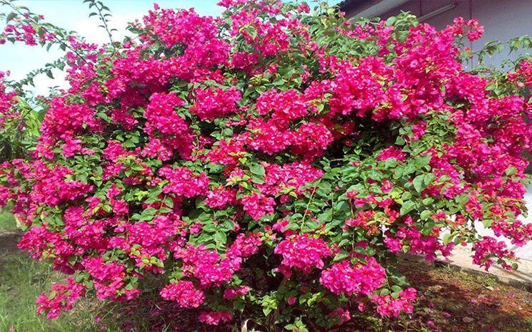 Bouganvillea color magenta