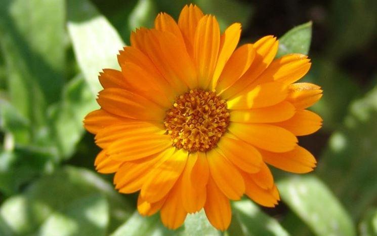 Il fiore aranciato della calendula