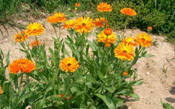 La calendula sotto il sole in giardino