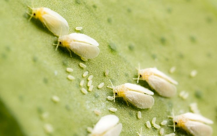 Gli insetti infestano le foglie