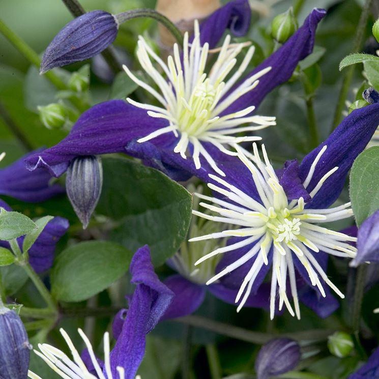 Clematis bicolore
