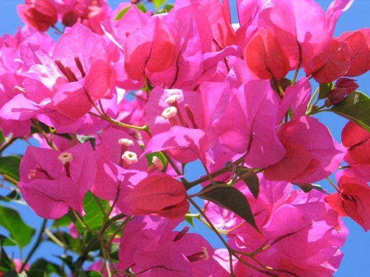 Coltivazione bouganville fiori da giardino coltivare - Fiori perenni da giardino ...