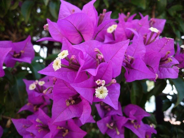 Bouganville pianta rampicante