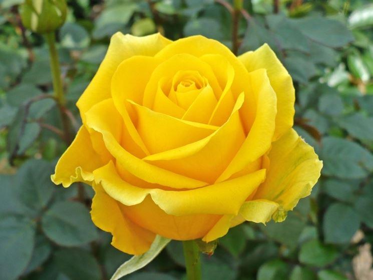 Pianta di rose gialle