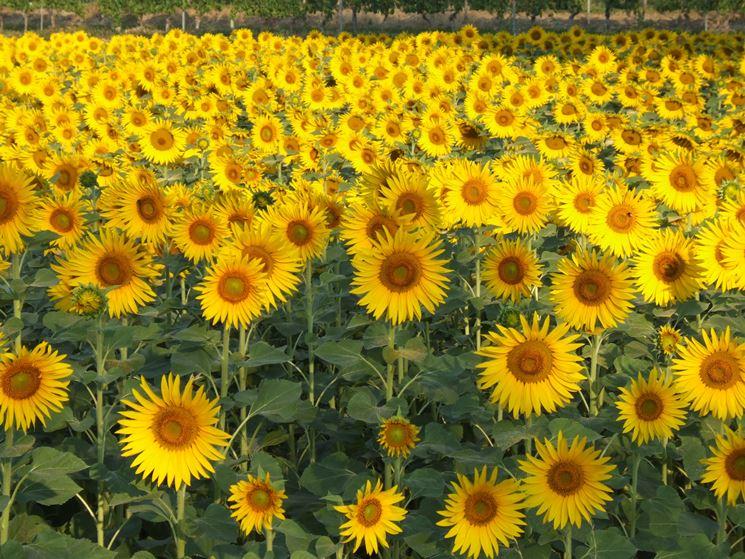 Fiori di stagione fiori da giardino consigli per coltivare fiori di stagione - Fiori da giardino estivi ...