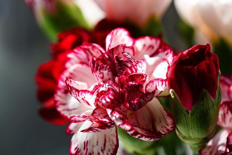 Esemplari di fiori di Garofano