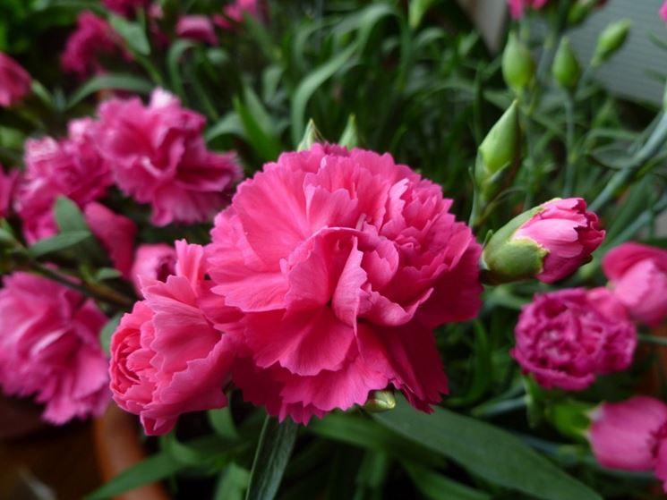 I Garofani rosa e boccioli