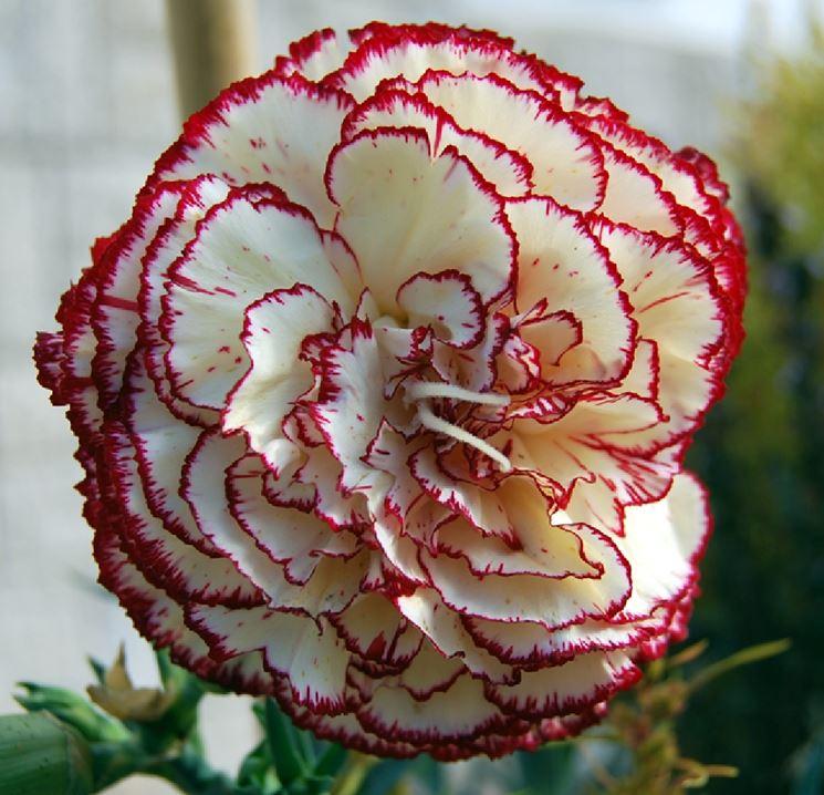 I garofani fiori da giardino fiore garofano for Fiori per balconi soleggiati