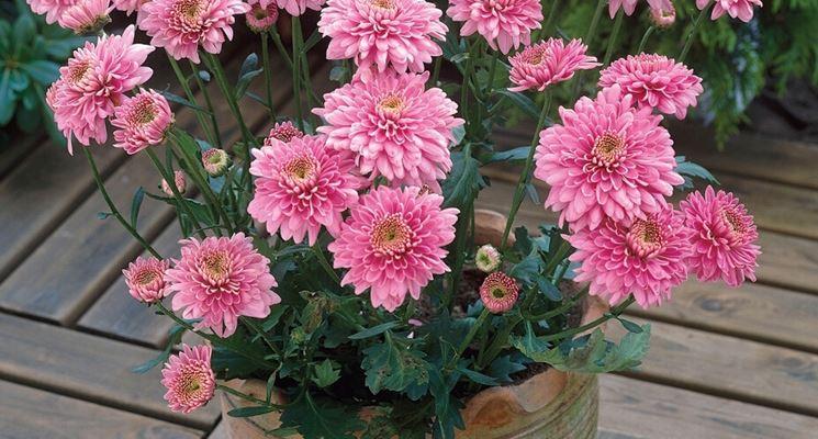 Crisantemo in vaso