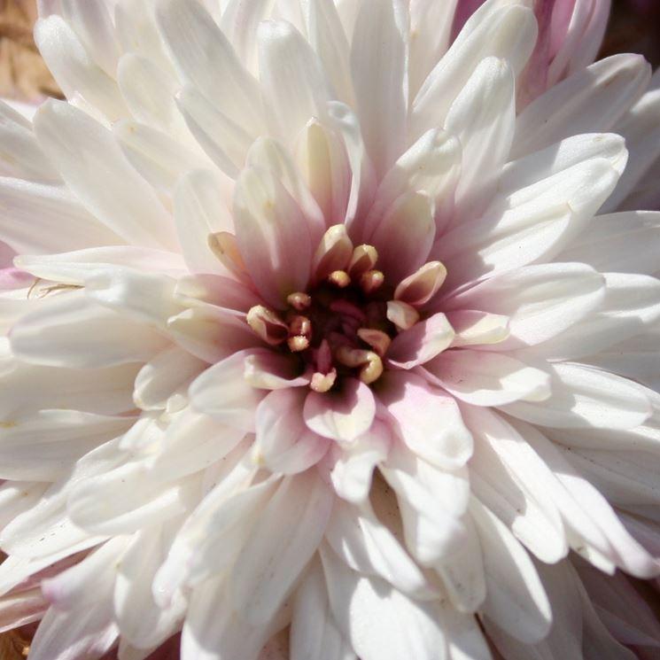 Crisantemo bianco e rosa
