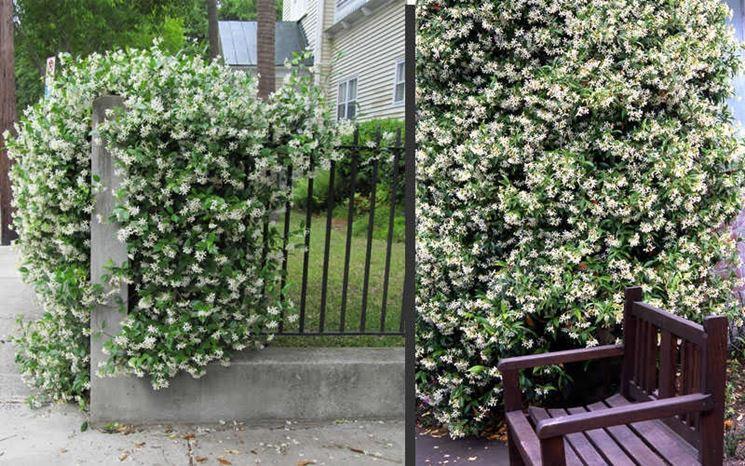 Il gelsomino si arrampica su muri e recinzioni