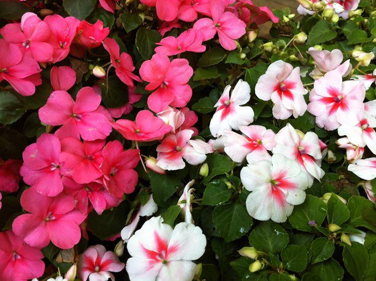 impatiens nuova guinea fiori da giardino impatiens