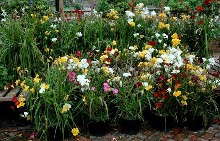 Piante di Fresia in vaso
