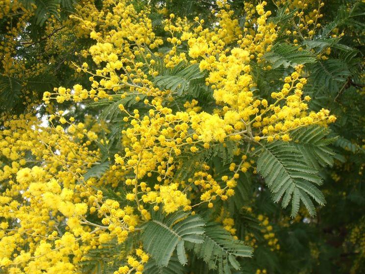 Fiori mimosa