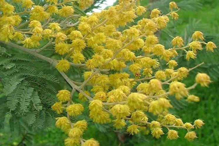 Mimose pianta