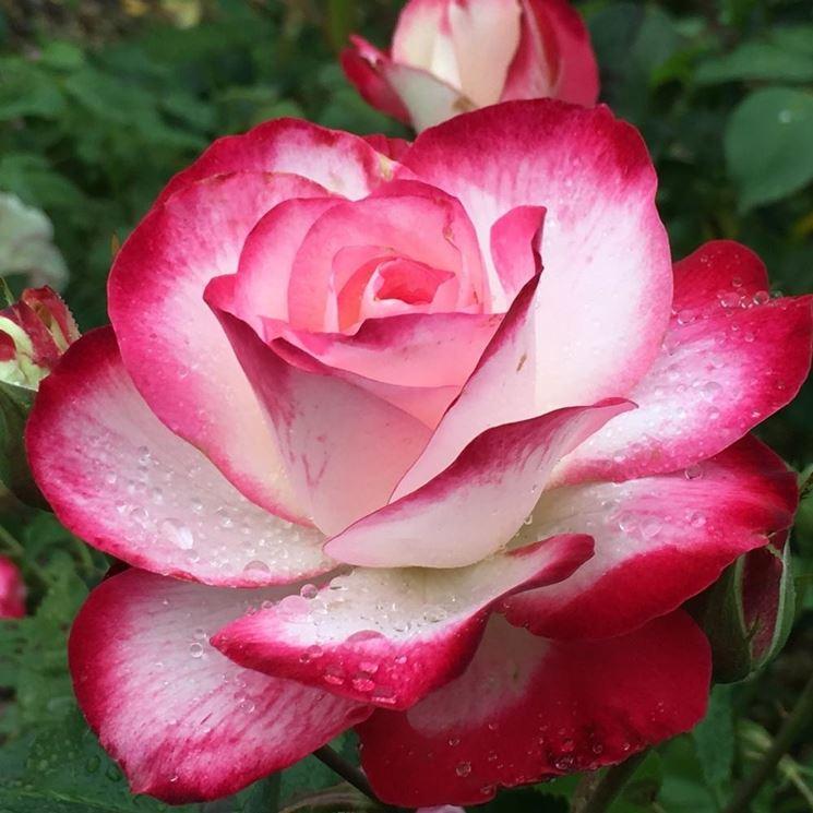 Esempio di rose botaniche