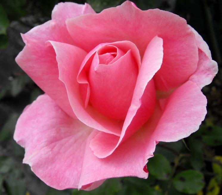 Rosa di colore rosa