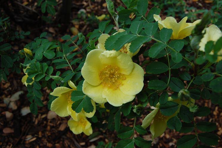 Rose gialle Foetida