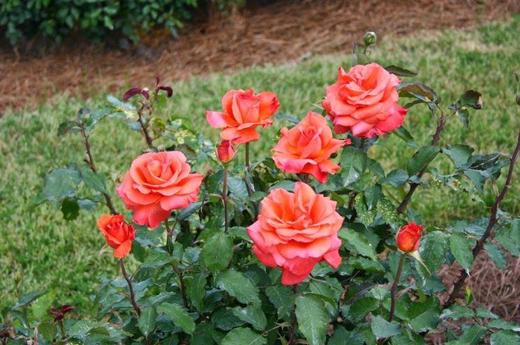 Rosa coltivazione