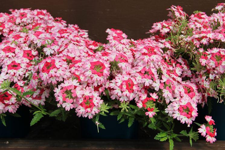 Fiori bicolore di Verbena