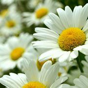 Alcuni fiori di margherite