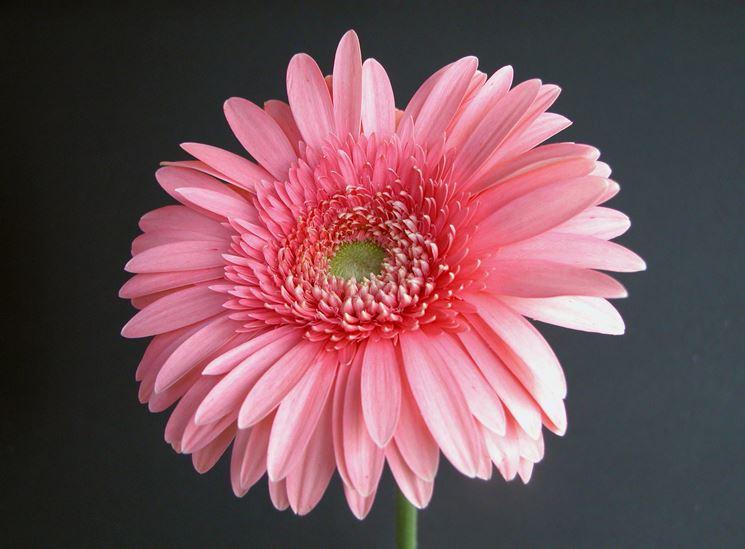 Bel fiore di margherita