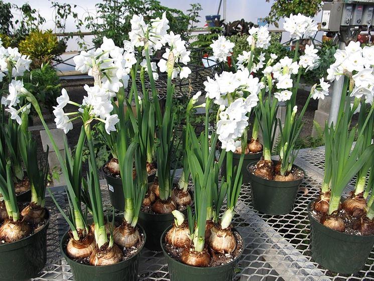 Wonderful Narcisi Coltivati In Vaso