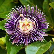 La passiflora, il fiore della passione
