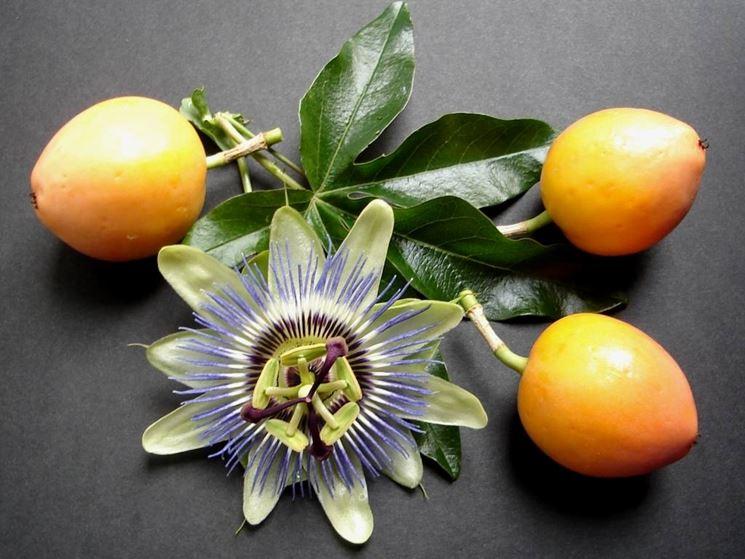 La passiflora con i frutti acerbi