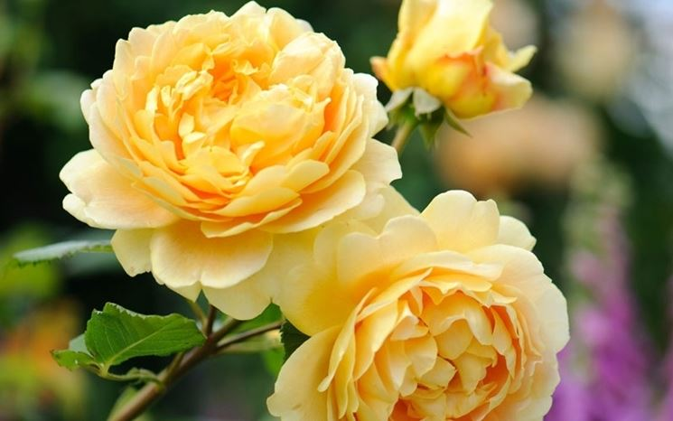 Rosa antica inglese