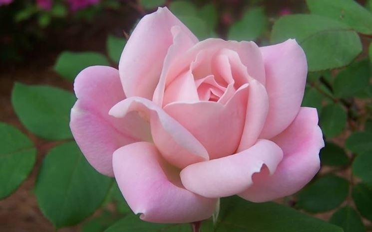 Varietà rosa