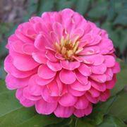 Varietà di zinnia rosa