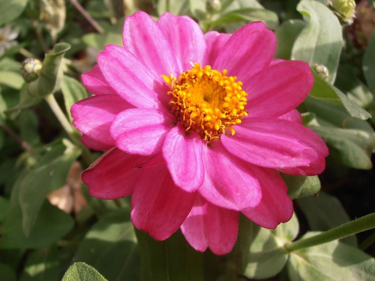 Zinnia rosa